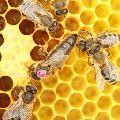 pixwords nápověda - obrázek VČELÍ MATKA